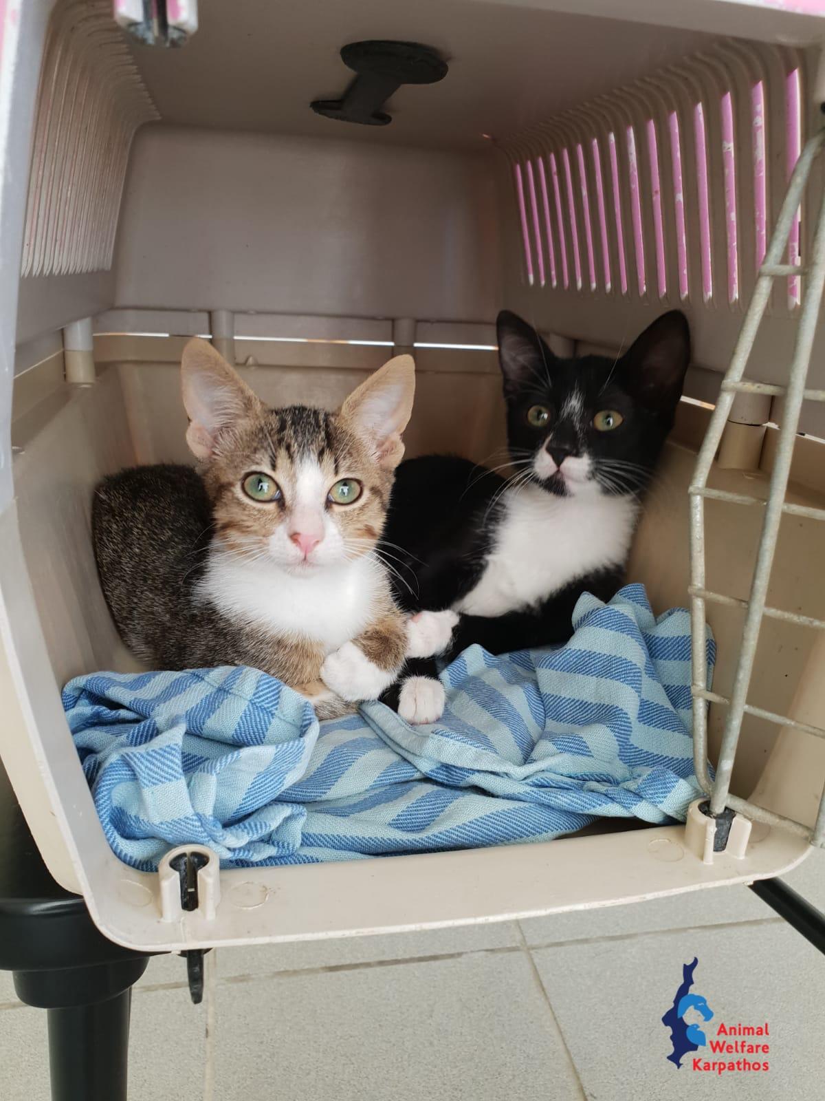 Τα δυο γατακια που βρέθηκαν σε κουτα στα σκουπίδια είναι πλέον υιοθετημένα στο εξωτερικό. Η δεύτερη φωτογραφία είναι από πριν ταξιδέψουν